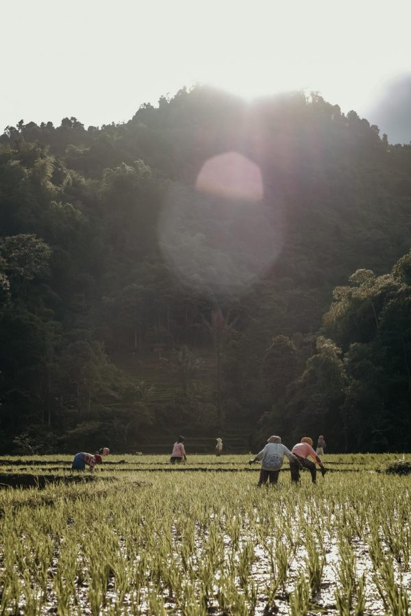 Children at work in rice field