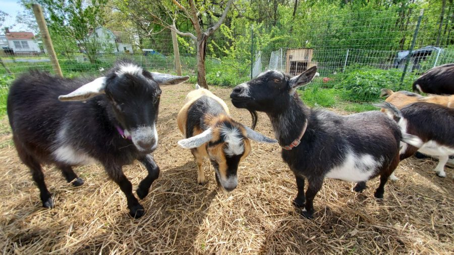 Eden Hall's livestock team rehomes chickens and ducks, will welcome new animals soon